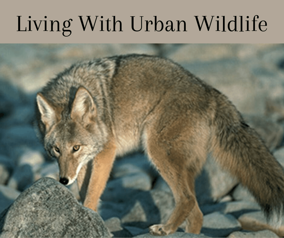 Living With Urban Wildlife, Coyote on Rocks