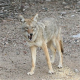 coyote_thumb.png